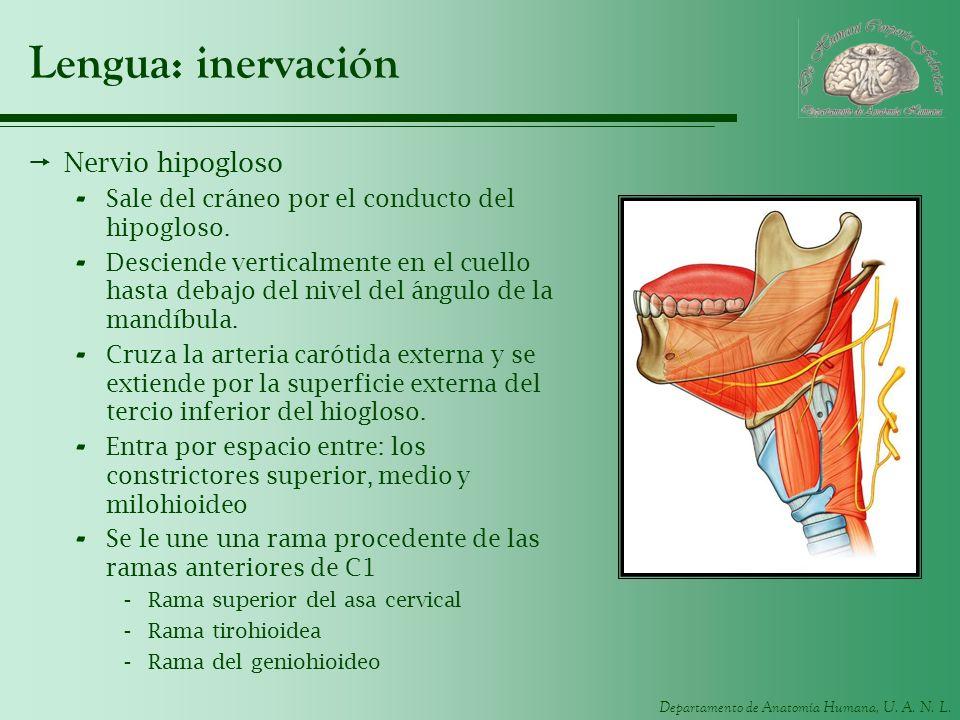 Lengua: inervación Nervio hipogloso