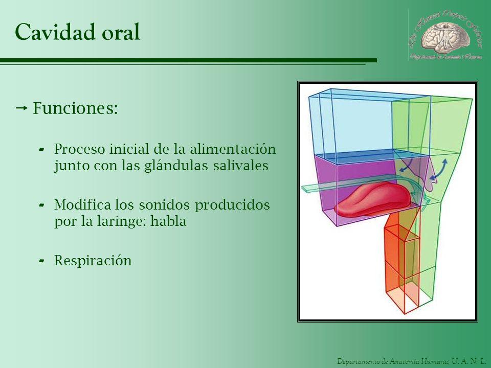 Cavidad oral Funciones: