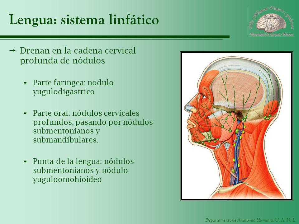 Lengua: sistema linfático