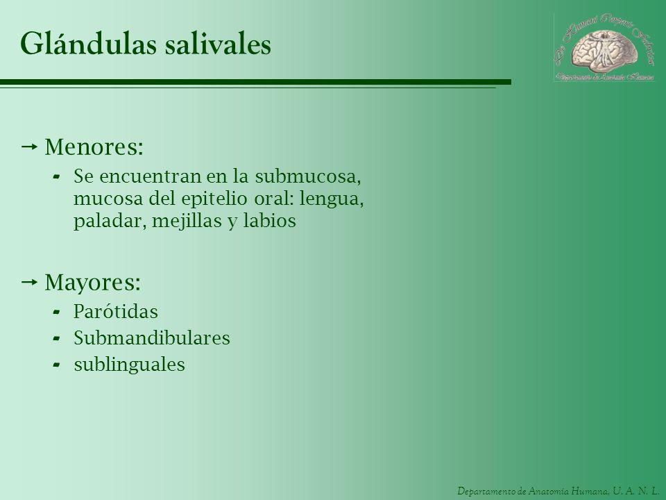 Glándulas salivales Menores: Mayores: