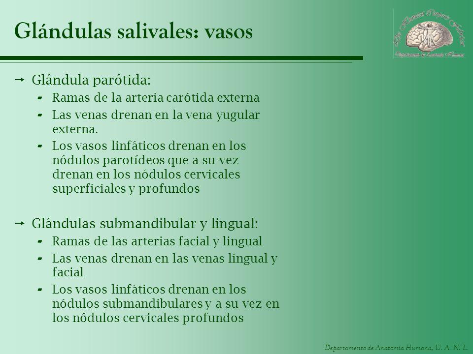 Glándulas salivales: vasos