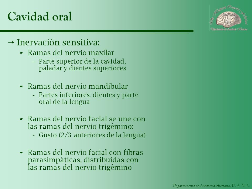 Cavidad oral Inervación sensitiva: Ramas del nervio maxilar