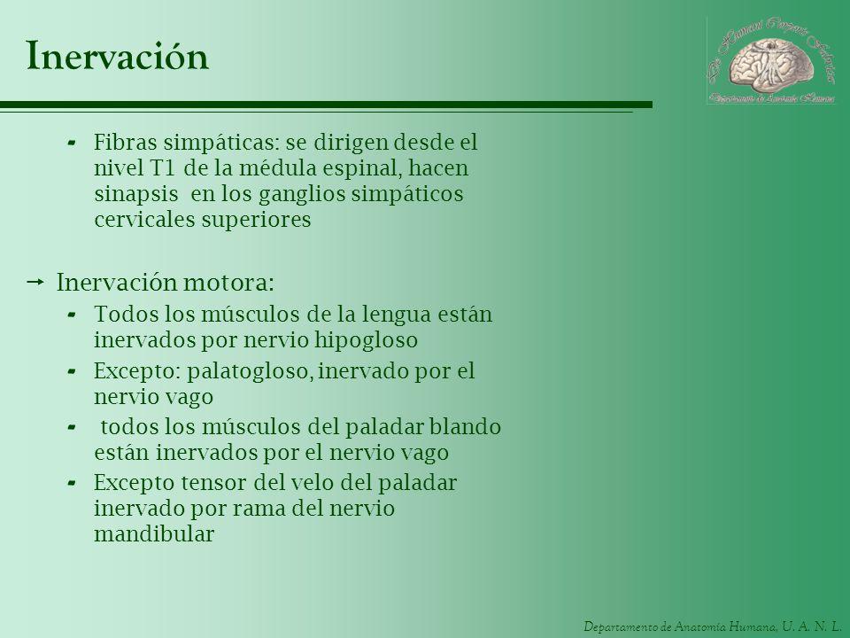 Inervación Inervación motora: