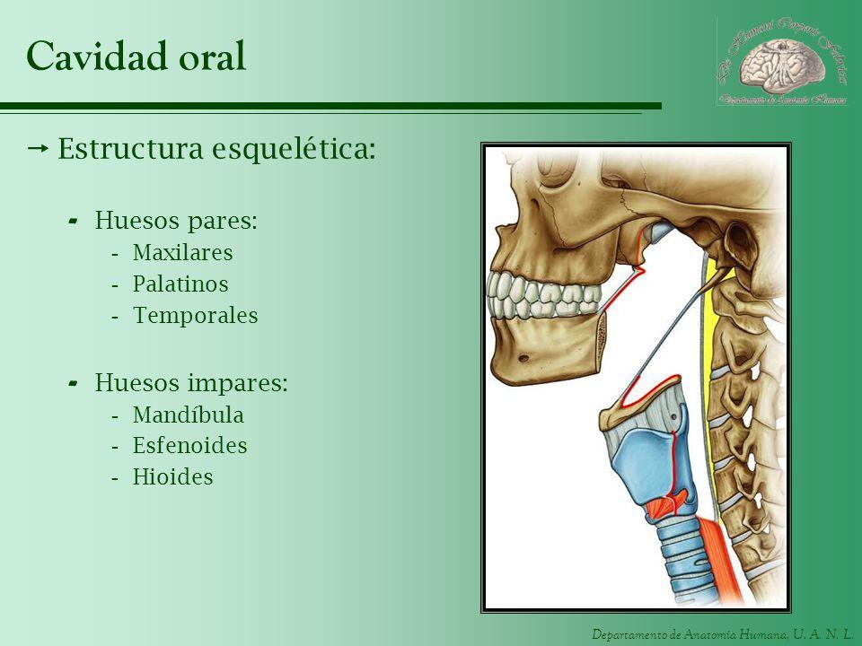 Cavidad oral Estructura esquelética: Huesos pares: Huesos impares: