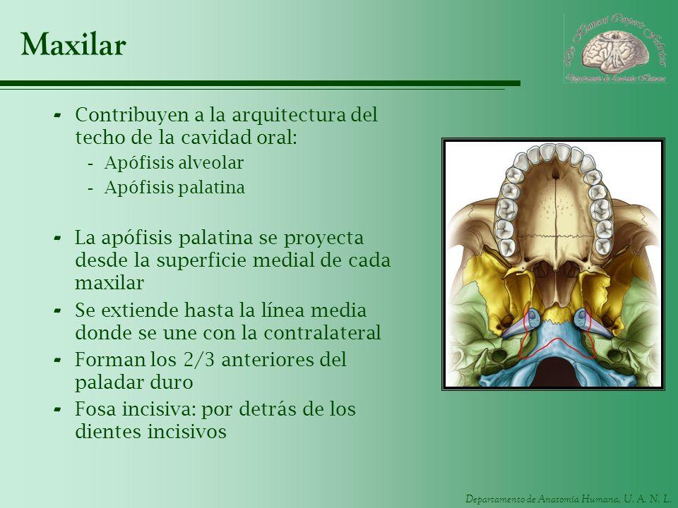 Maxilar Contribuyen a la arquitectura del techo de la cavidad oral: