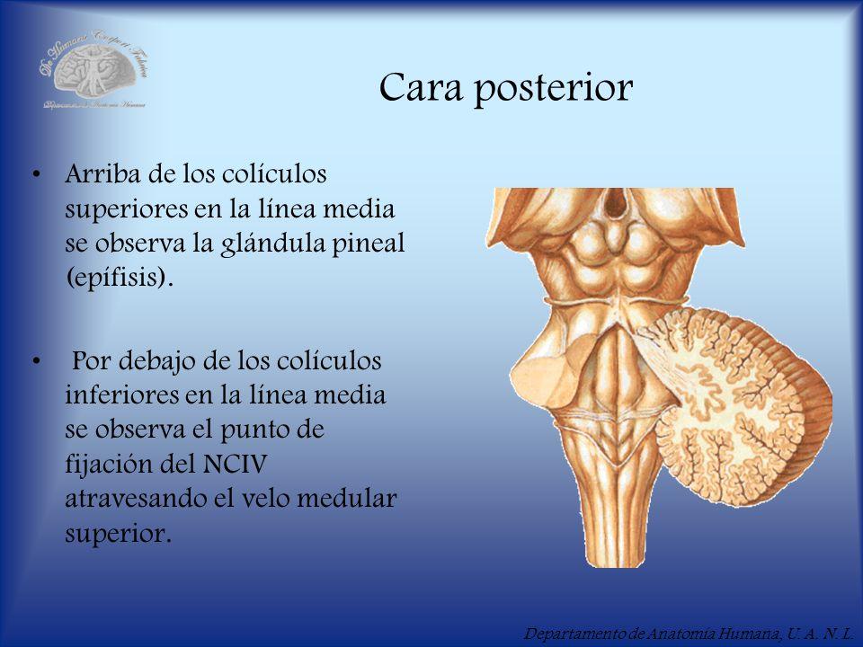 Cara posterior Arriba de los colículos superiores en la línea media se observa la glándula pineal (epífisis).