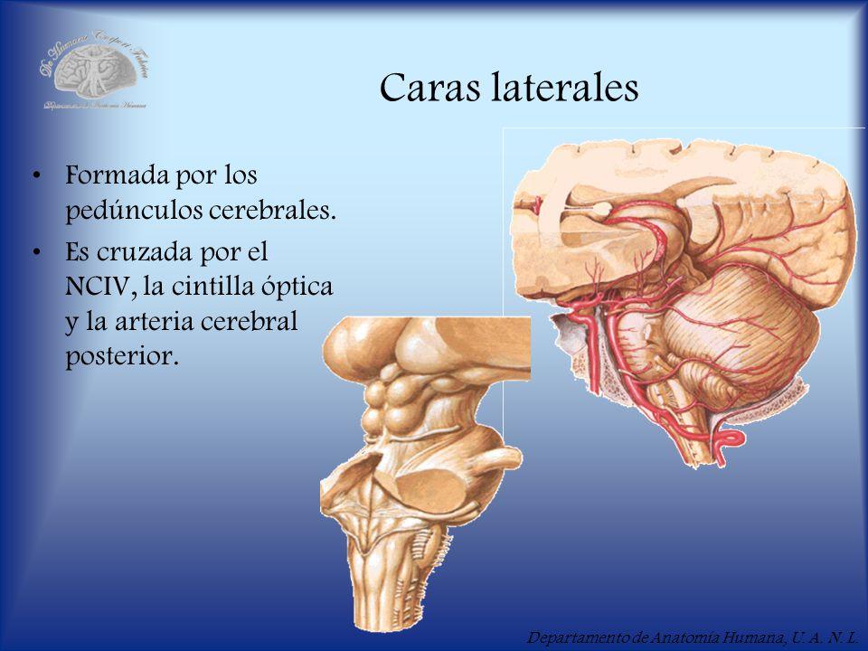 Caras laterales Formada por los pedúnculos cerebrales.