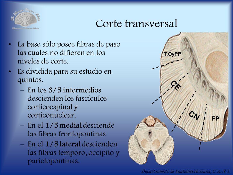 Corte transversal FP. T,OyPP. CE. CN. La base sólo posee fibras de paso las cuales no difieren en los niveles de corte.