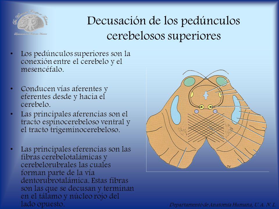 Decusación de los pedúnculos cerebelosos superiores
