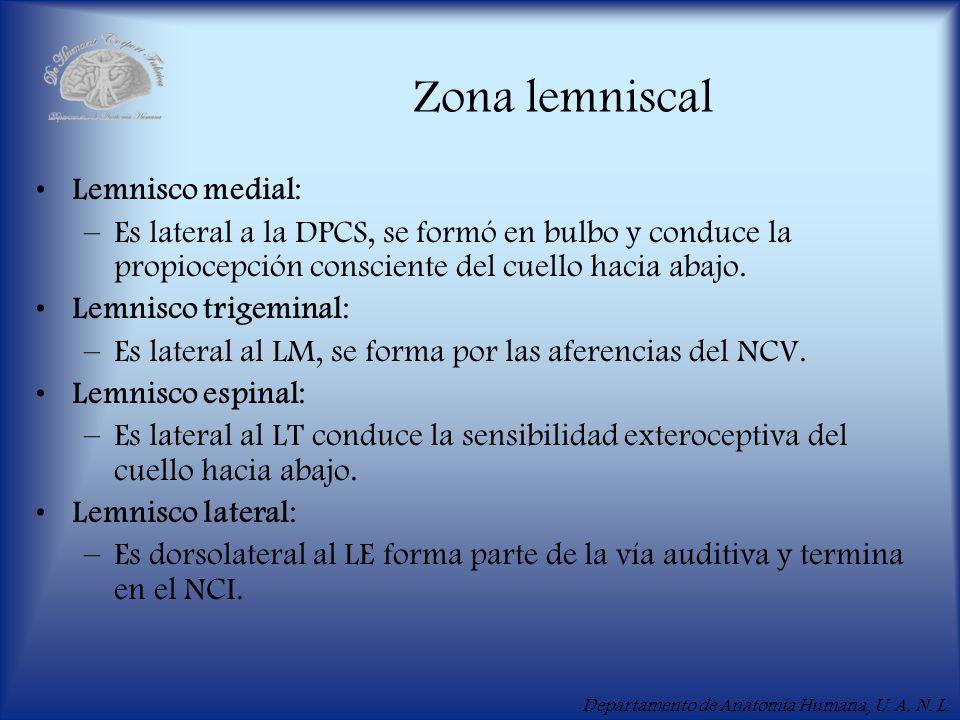 Zona lemniscal Lemnisco medial: