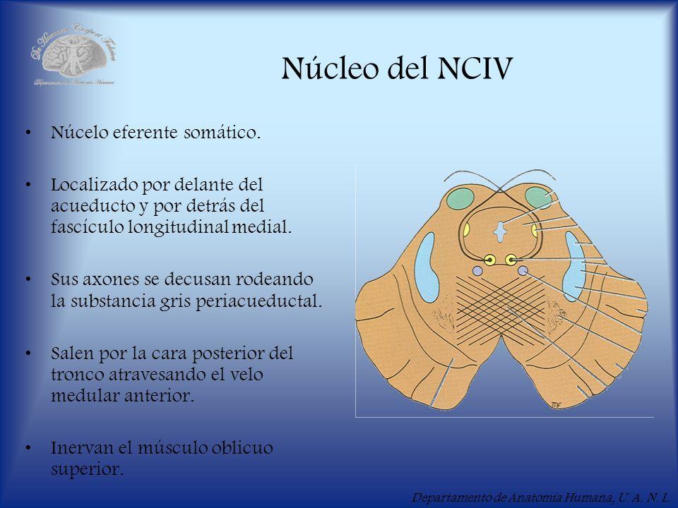 Núcleo del NCIV Núcelo eferente somático.
