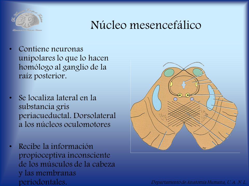Núcleo mesencefálico Contiene neuronas unipolares lo que lo hacen homólogo al ganglio de la raíz posterior.