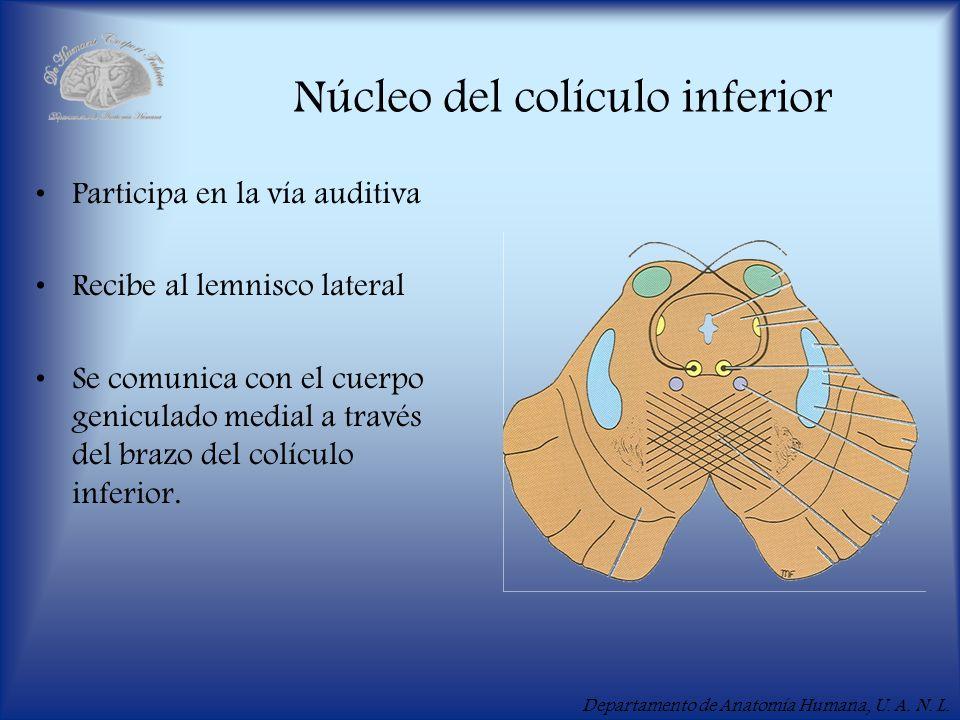 Núcleo del colículo inferior