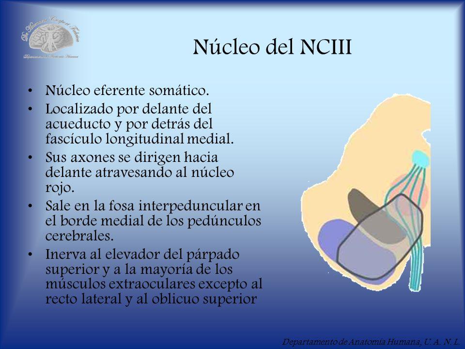 Núcleo del NCIII Núcleo eferente somático.