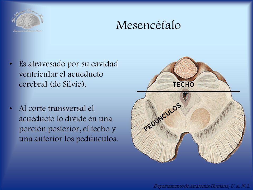 Mesencéfalo Es atravesado por su cavidad ventricular el acueducto cerebral (de Silvio).