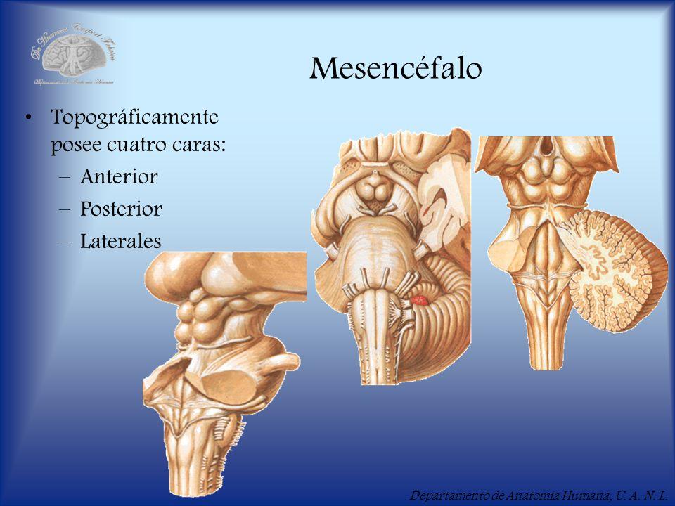 Mesencéfalo Topográficamente posee cuatro caras: Anterior Posterior