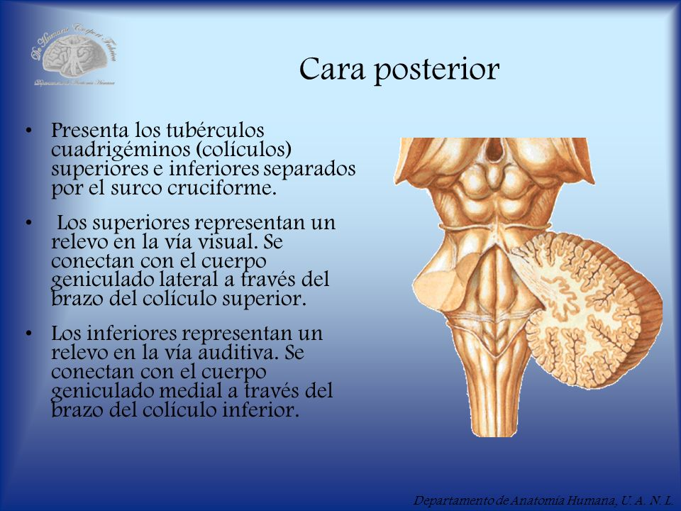 Cara posterior Presenta los tubérculos cuadrigéminos (colículos) superiores e inferiores separados por el surco cruciforme.