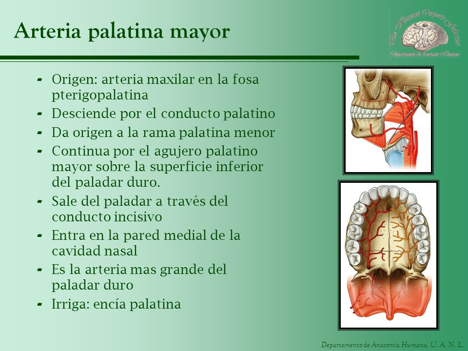 Arteria palatina mayor