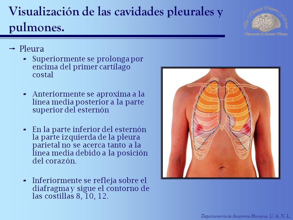 Visualización de las cavidades pleurales y pulmones.