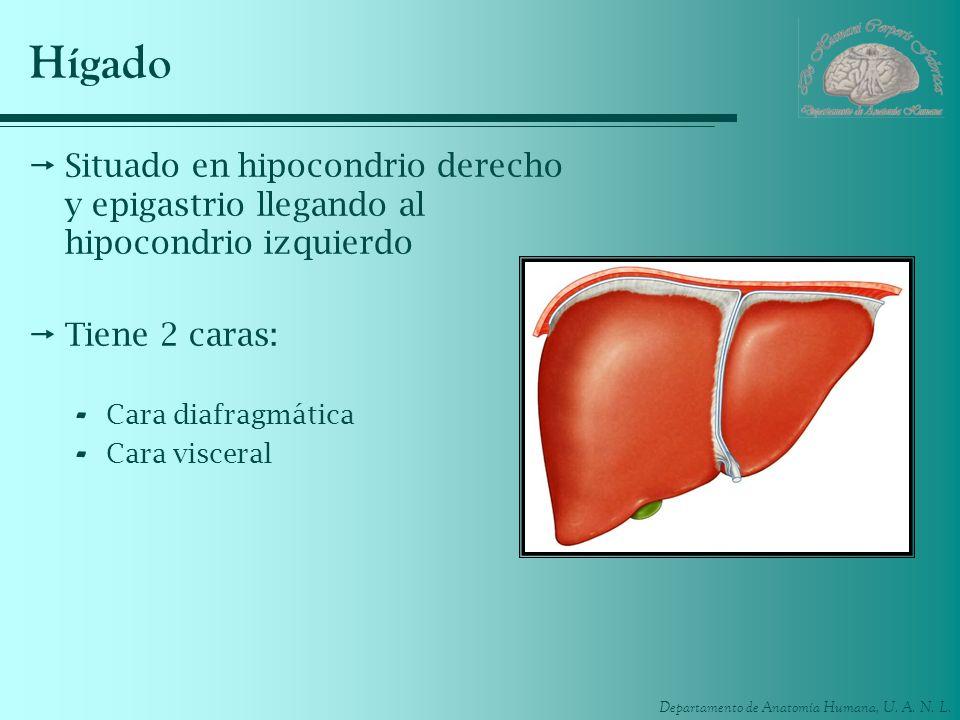Hígado Situado en hipocondrio derecho y epigastrio llegando al hipocondrio izquierdo. Tiene 2 caras: