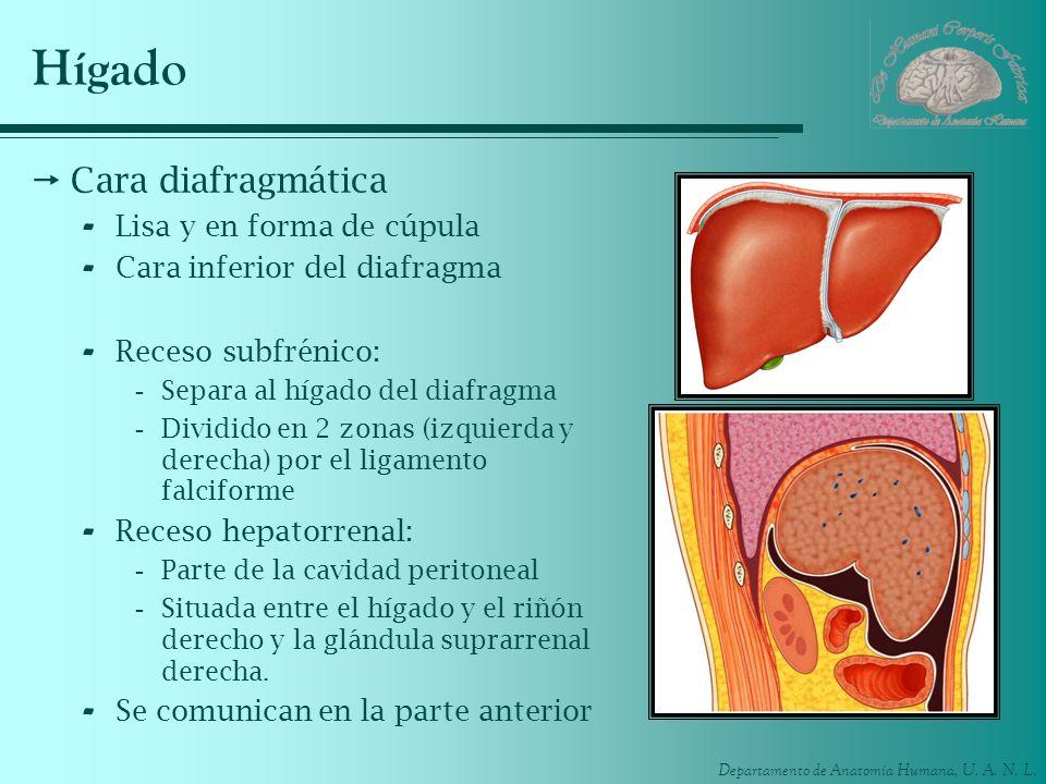 Hígado Cara diafragmática Lisa y en forma de cúpula