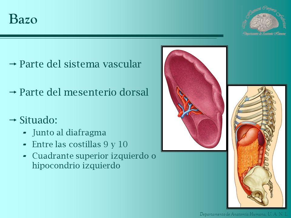 Bazo Parte del sistema vascular Parte del mesenterio dorsal Situado: