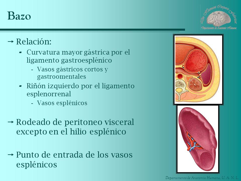 BazoRelación: Curvatura mayor gástrica por el ligamento gastroesplénico. Vasos gástricos cortos y gastroomentales.