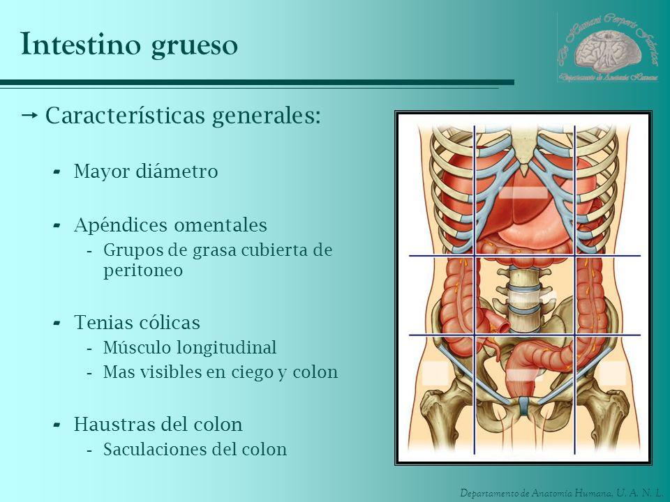 Intestino grueso Características generales: Mayor diámetro