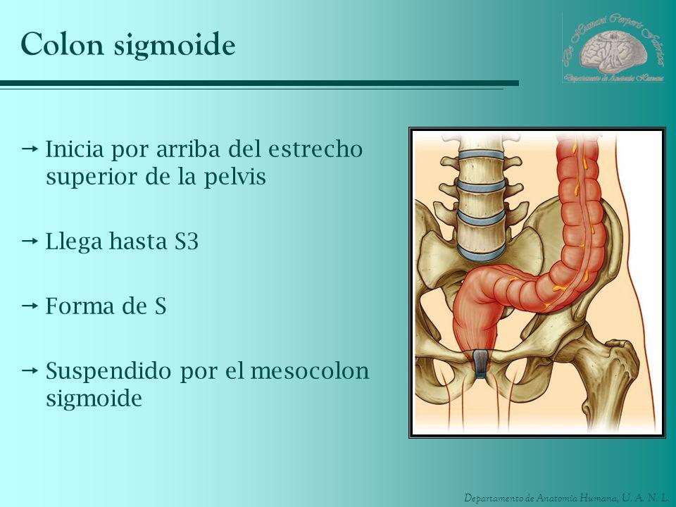 Colon sigmoide Inicia por arriba del estrecho superior de la pelvis