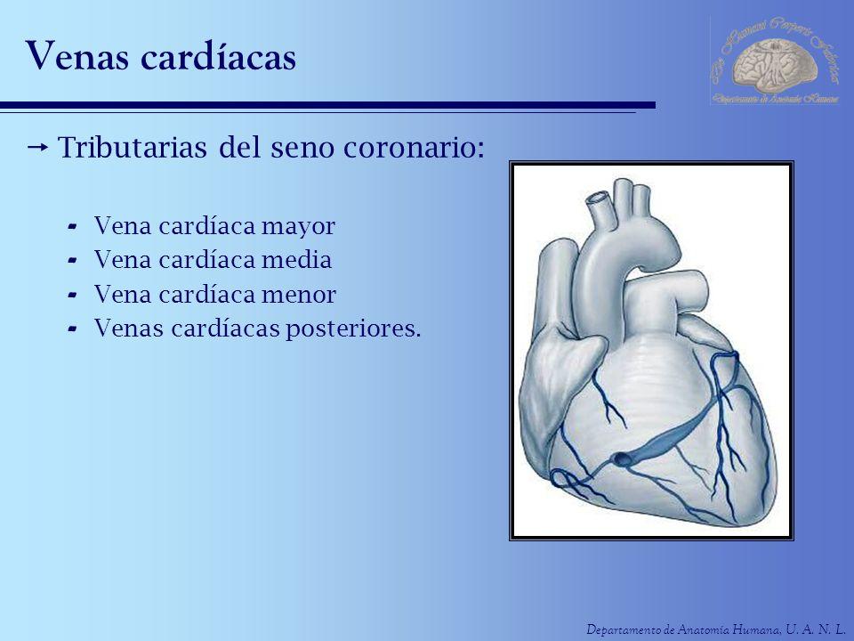 Venas cardíacas Tributarias del seno coronario: Vena cardíaca mayor