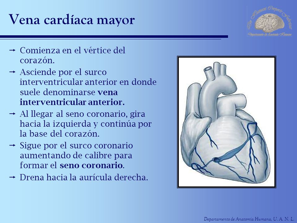 Vena cardíaca mayor Comienza en el vértice del corazón.
