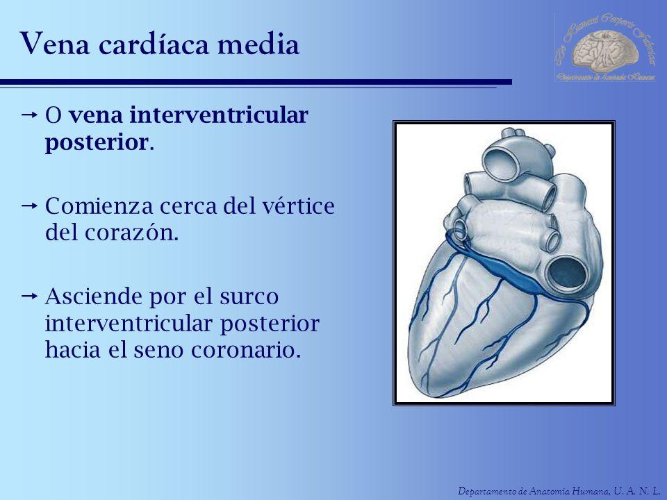 Vena cardíaca media O vena interventricular posterior.