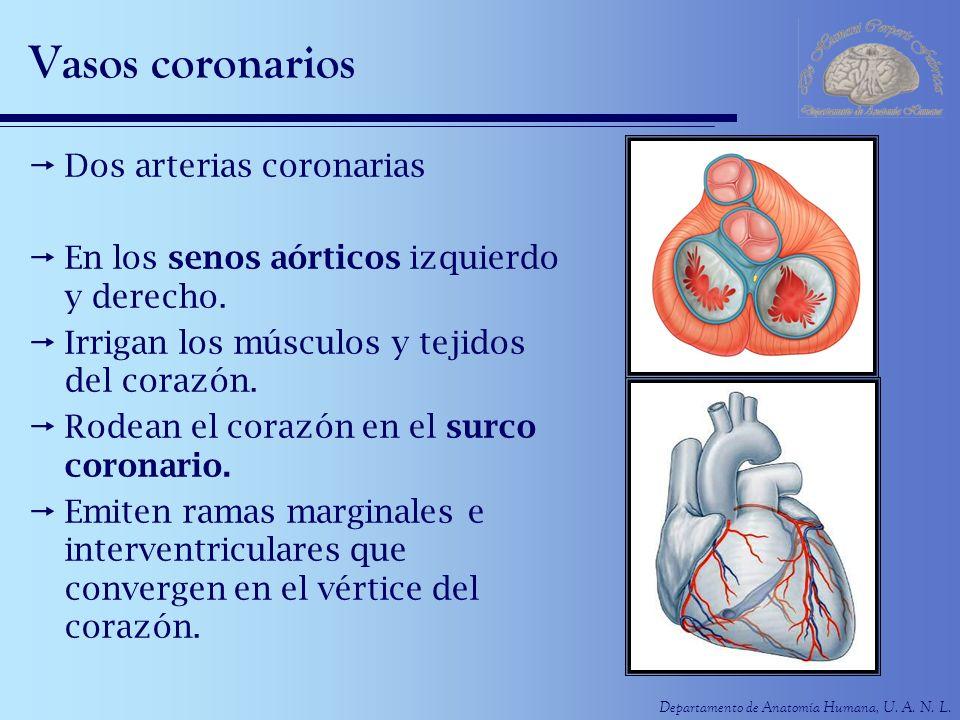 Vasos coronarios Dos arterias coronarias