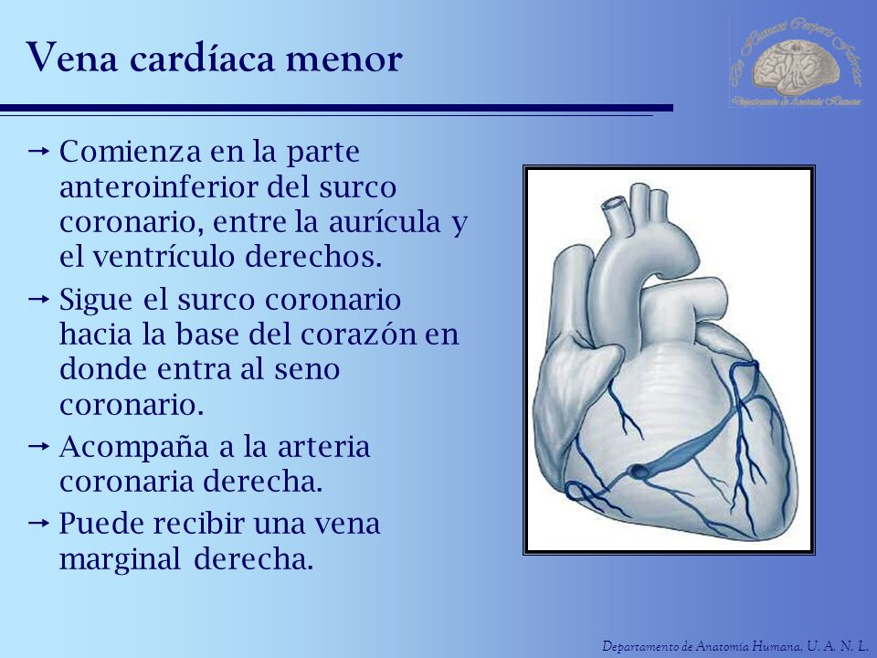 Vena cardíaca menor Comienza en la parte anteroinferior del surco coronario, entre la aurícula y el ventrículo derechos.