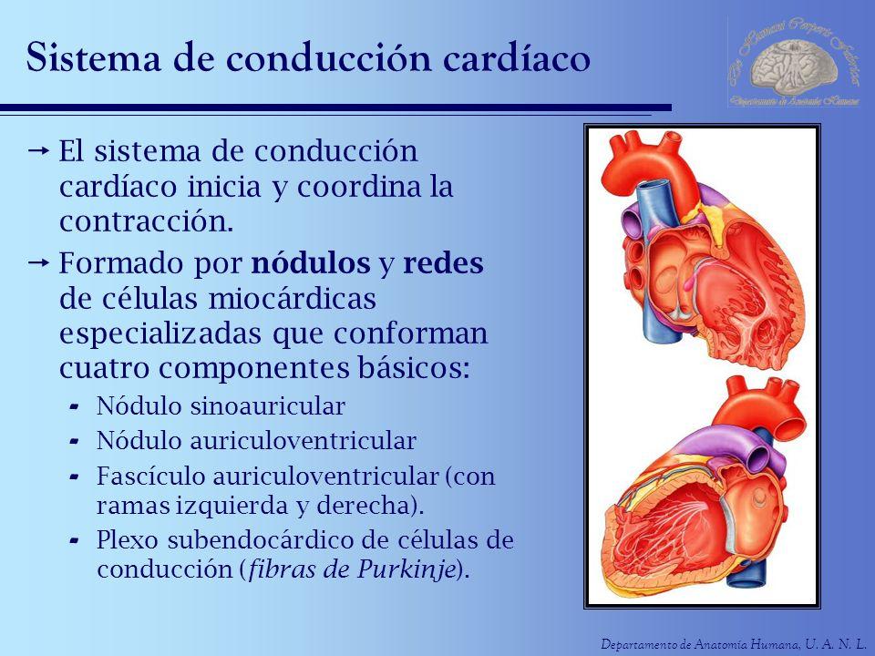 Sistema de conducción cardíaco