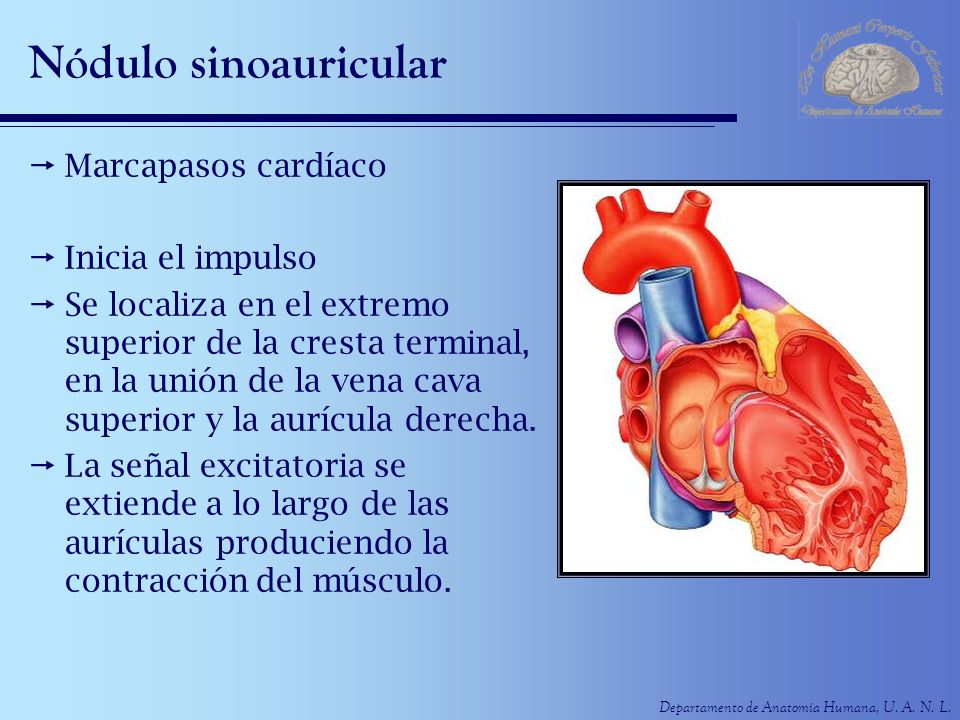 Nódulo sinoauricular Marcapasos cardíaco Inicia el impulso