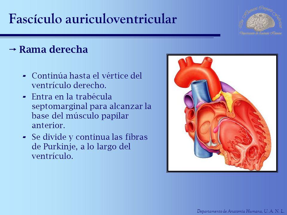 Fascículo auriculoventricular