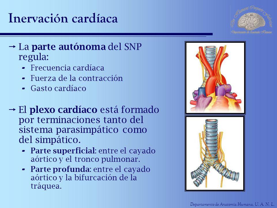 Inervación cardíaca La parte autónoma del SNP regula: