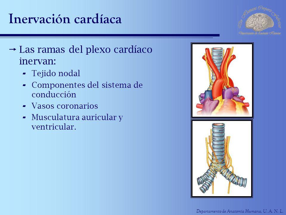 Inervación cardíaca Las ramas del plexo cardíaco inervan: Tejido nodal