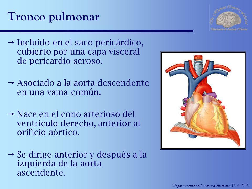 Tronco pulmonar Incluido en el saco pericárdico, cubierto por una capa visceral de pericardio seroso.