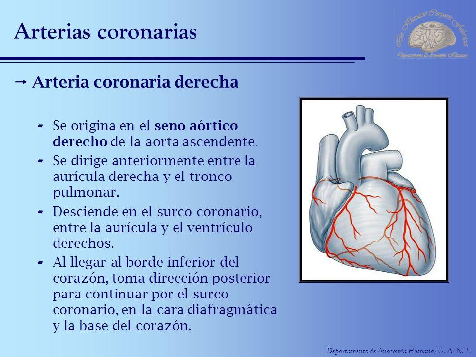 Arterias coronarias Arteria coronaria derecha