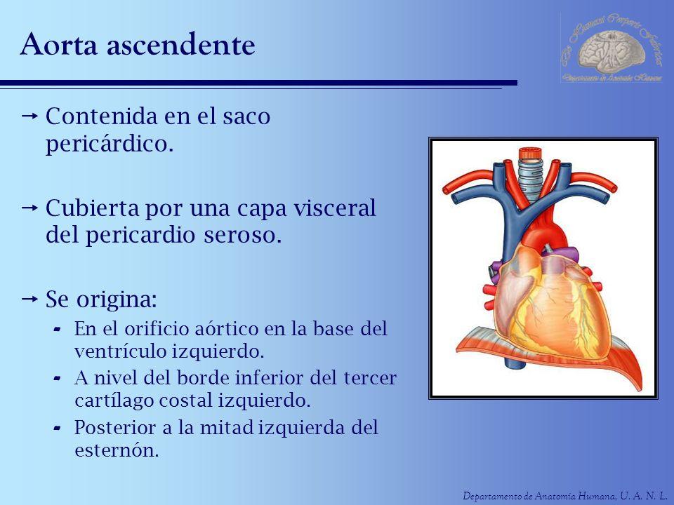 Aorta ascendente Contenida en el saco pericárdico.
