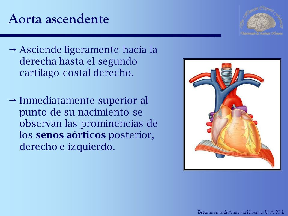 Aorta ascendenteAsciende ligeramente hacia la derecha hasta el segundo cartílago costal derecho.