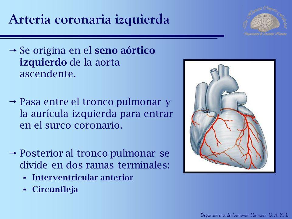 Arteria coronaria izquierda