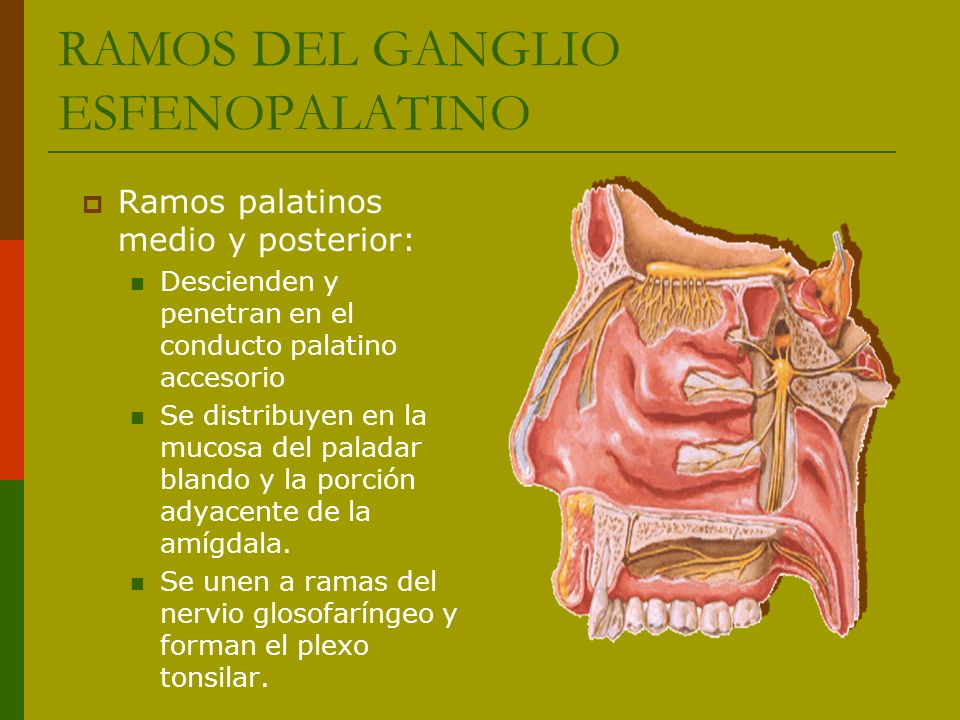RAMOS DEL GANGLIO ESFENOPALATINO