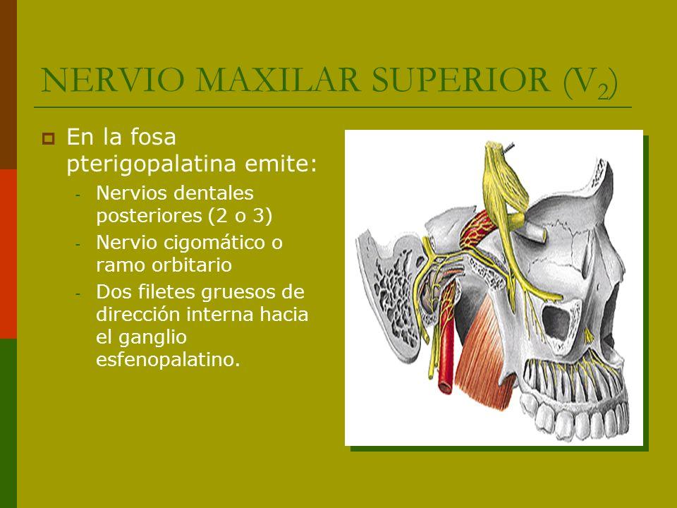 NERVIO MAXILAR SUPERIOR (V2)