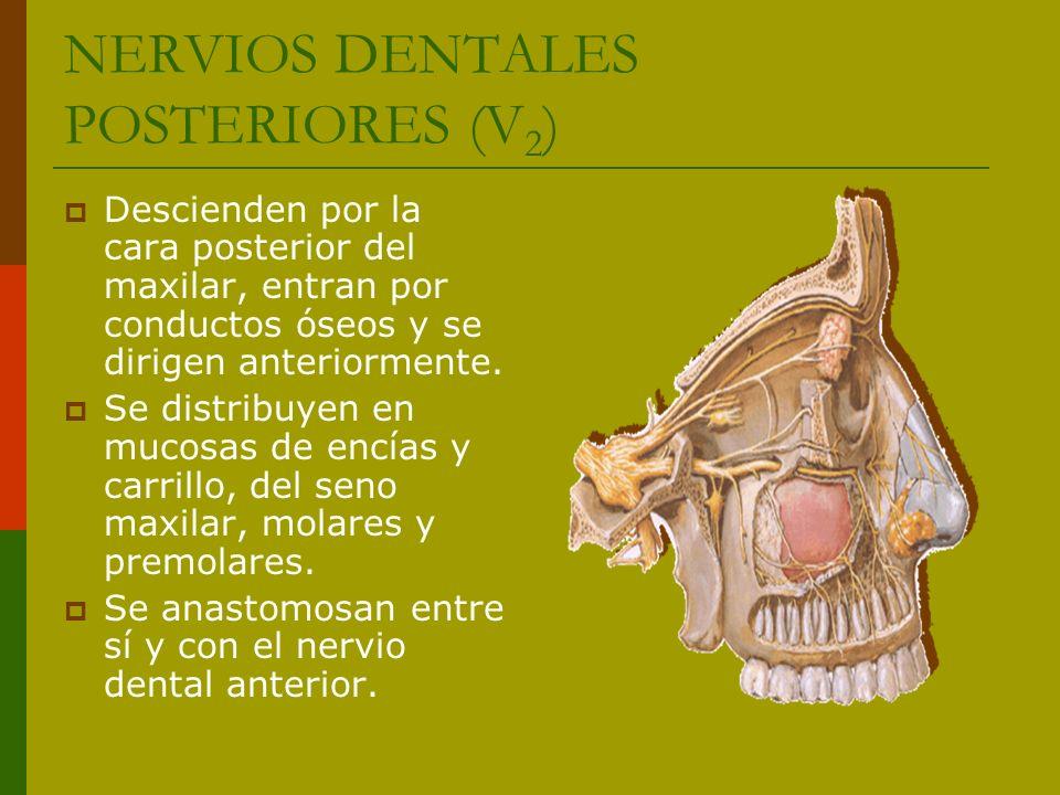 NERVIOS DENTALES POSTERIORES (V2)