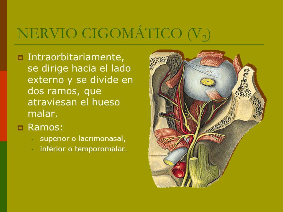 NERVIO CIGOMÁTICO (V2) Intraorbitariamente, se dirige hacia el lado externo y se divide en dos ramos, que atraviesan el hueso malar.