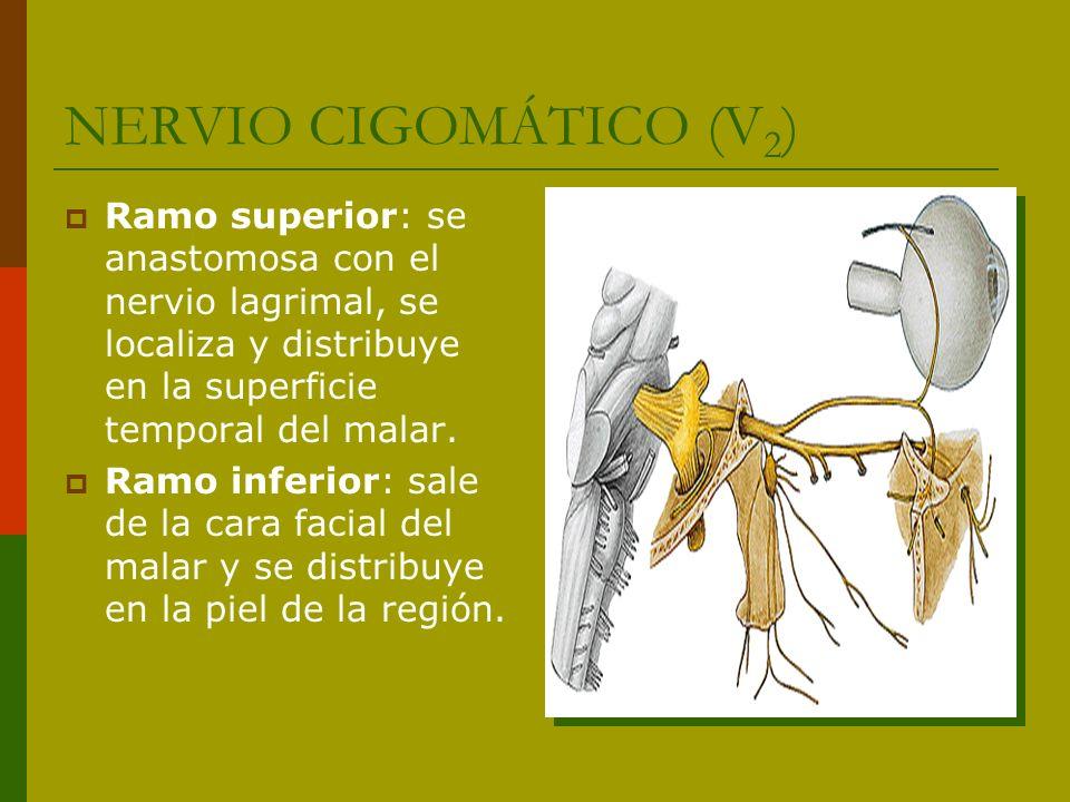NERVIO CIGOMÁTICO (V2) Ramo superior: se anastomosa con el nervio lagrimal, se localiza y distribuye en la superficie temporal del malar.