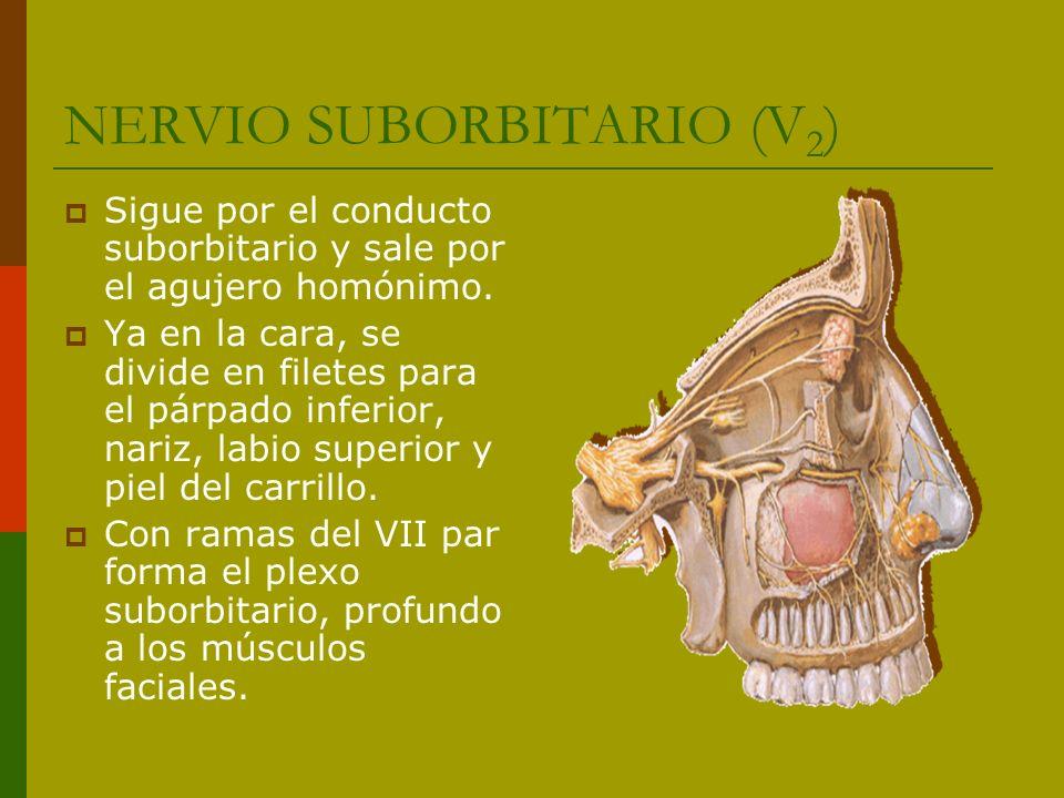 NERVIO SUBORBITARIO (V2)
